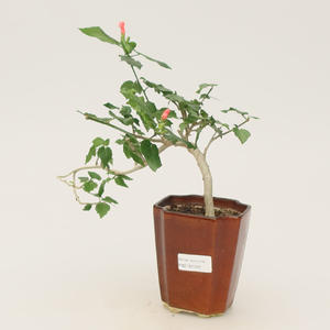 Room bonsai - small-flowered hibiscus