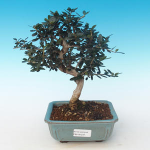 Indoor bonsai - Olea europaea sylvestris -Oliva European small leaf PB2191237