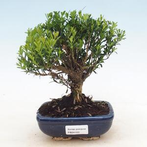 Pinus thunbergii - Thunbergova Pine
