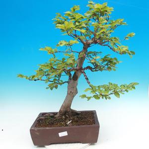 Outdoor bonsai-Fagus sylvatica