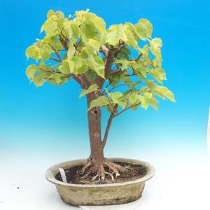 Outdoor bonsai - Lime hearty