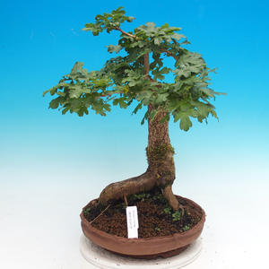 Outdoor bonsai - Baby jelly - Acer campestre
