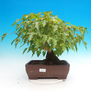 Outdoor bonsai - Acer ginala - Fire maple
