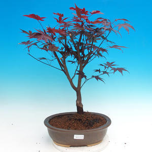 Outdoor bonsai - Acer palm. Atropurpureum-daphnia