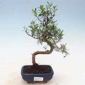 Outdoor bonsai -House VB13611