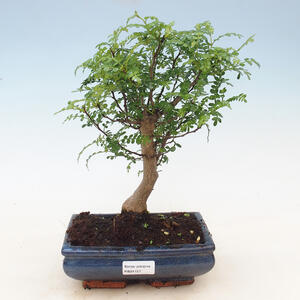 Outdoor bonsai - Common hams