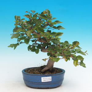 Outdoor bonsai -Carpinus CARPINOIDES - Korean horn