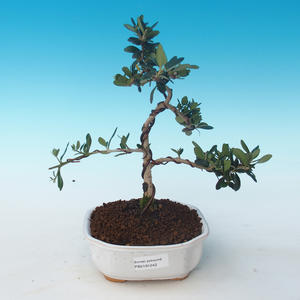Indoor bonsai - Olea europaea sylvestris -Oliva European small leaf PB2191242