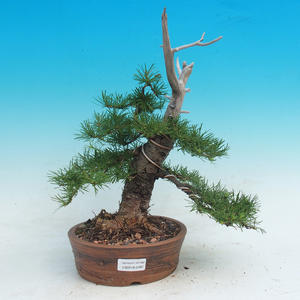 Outdoor bonsai -Larix decidua - Larch deciduous