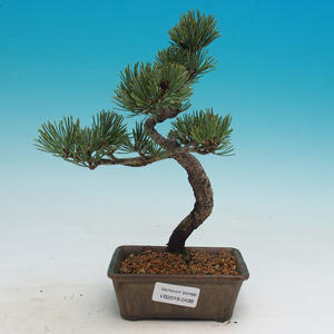 Outdoor bonsai - Pinus parviflora - Small pine tree