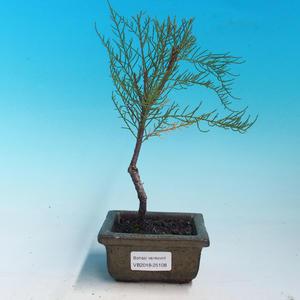 Outdoor bonsai - Tamaris parviflora tamarisk malolistý