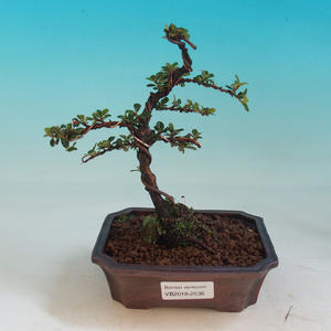 Outdoor bonsai - Cotoneaster-Skalník