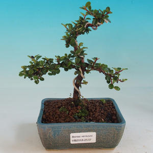 Outdoor bonsai-Cotoneaster-Skalník