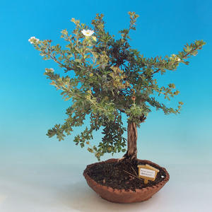 Outdoor Bonsai-Mochna Shrubs - Dasiphora fruticosa White