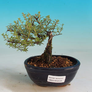 Outdoor Bonsai-Mochna Shrubs - Dasiphora fruticosa Yellow