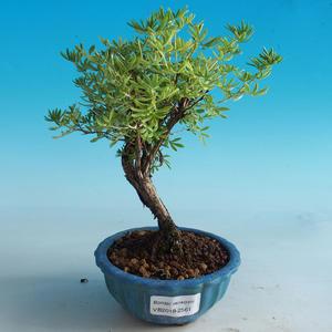 Outdoor Bonsai-Mochna Shrubs - Dasiphora fruticosa Yellow