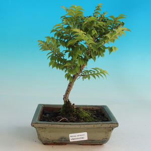 Outdoor bonsai-Ulmus Elegantissima Jack. Hillier-Jílm elegant