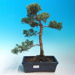 Outdoor bonsai Juniperus-chinenssis-Chinese juniper