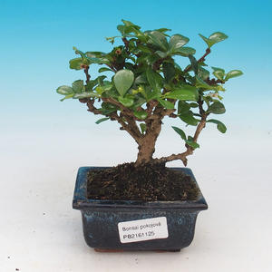 Room bonsai - Carmona macrophylla - Tea fuki