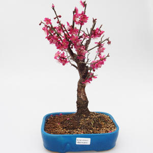 Outdoor bonsai -Japanese apricot - Prunus Mume