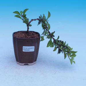 Room bonsai - Duranta erecta Aurea