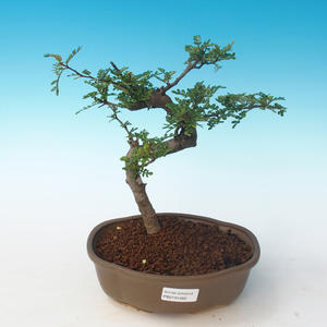 Indoor bonsai - Zantoxylum piperitum - Pepper tree PB2191262