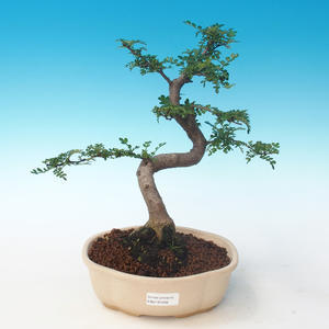 Indoor bonsai - Zantoxylum piperitum - Pepper tree PB2191266