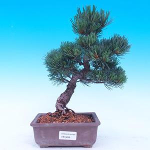 Outdoor bonsai - Small tree bark - Pinus parviflora glauca