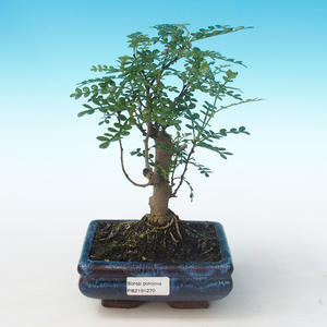 Indoor bonsai - Zantoxylum piperitum - Pepper tree PB2191270
