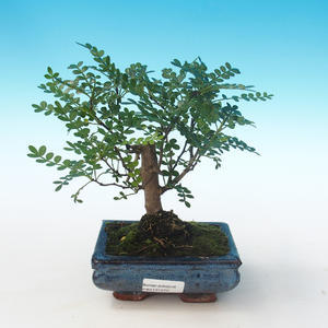 Indoor bonsai - Zantoxylum piperitum - Pepper tree PB2191272