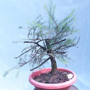 amadori - larch - Larix decidua
