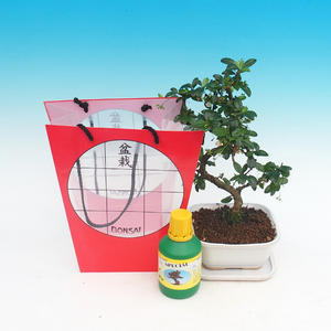 Room bonsai in a gift bag