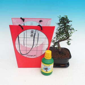 Room bonsai in a gift bag, Ulmus parvifolia - Lesser Elm