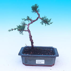 Outdoor bonsai Juniperus-chinenssis-Chinese juniper
