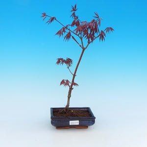 Outdoor bonsai - maple palmatum Trompenburg - red maple dlanitolistý