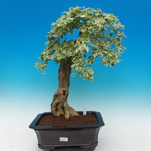 Room bonsai - Duranta variegata