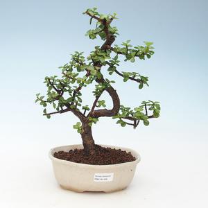 Indoor bonsai - Portulakaria Afra - Tlustice 414-PB2191348