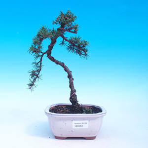 Outdoor bonsai - Cedrus libani Braviofolia