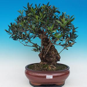 Evropea Olea - olive Europe