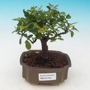 Room bonsai - Sagerécie thea - Sagerécie thea