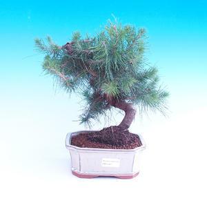 Room bonsai-Pinus halepensis-Pinus halepensis