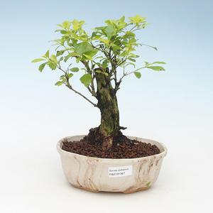 Indoor bonsai - Duranta erecta Aurea 414-PB2191367