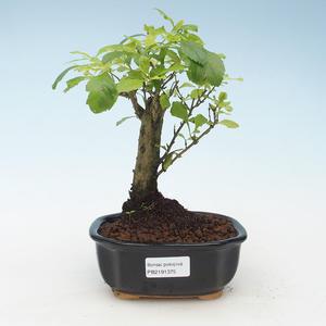 Indoor bonsai - Duranta erecta Aurea 414-PB2191375