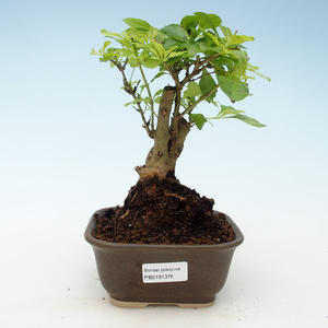 Indoor bonsai - Duranta erecta Aurea 414-PB2191376