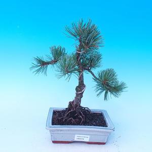 Outdoor bonsai - Pinus parviflora - Pinus parviflora
