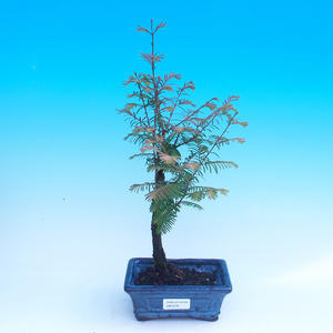 Outdoor bonsai - Tisovec double row