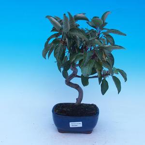 Outdoor bonsai - Malus halliana - Malplate apple tree