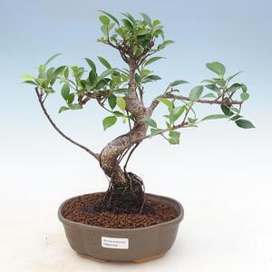 Indoor bonsai - Sagerécie thea - Sagerécie thea 414-PB2191400