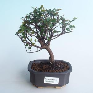 Indoor bonsai - Sagerécie thea - Sagerécie thea 414-PB2191403