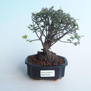 Indoor bonsai - Sagerécie thea - Sagerécie thea 414-PB2191404